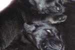 02-Cuccioli ad una settimana