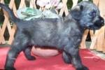 04-Cuccioli a quattro settimane