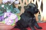 06-Cuccioli a quattro settimane