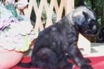 07-Cuccioli a quattro settimane