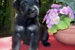 08-Cuccioli a quattro settimane