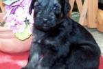 09-Cuccioli a quattro settimane