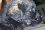 10-Cuccioli a quattro settimane