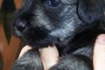 11-Cuccioli a quattro settimane