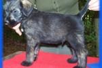 12-Cuccioli a cinque settimane MASCHI