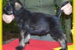 13-Cuccioli a cinque settimane MASCHI