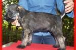 14-Cuccioli a cinque settimane MASCHI