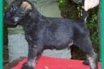 15-Cuccioli a cinque settimane MASCHI