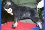 16-Cuccioli a cinque settimane FEMMINE