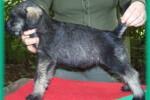 19-Cuccioli a cinque settimane FEMMINE