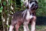 20-Cuccioli a otto settimane MASCHI