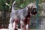 21-Cuccioli a otto settimane MASCHI