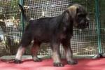 22-Cuccioli a otto settimane MASCHI