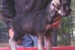 25-Cuccioli a otto settimane FEMMINE